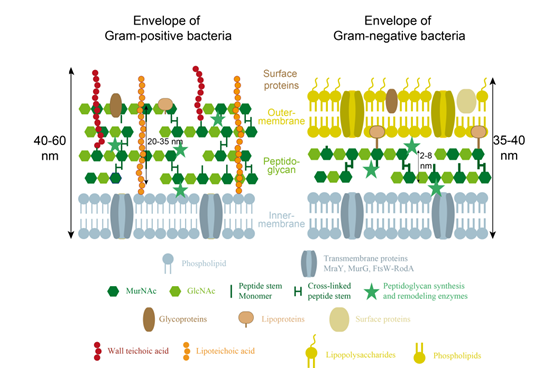 glycopediafigure 2 schematic organization and main components of the bacterial cell envelope of (a) gram positive and (b) gram negative bacteria