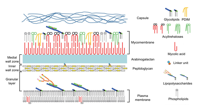 Glycopedia figure 4 schematic representation of the mycobacterial cell ccuart Images