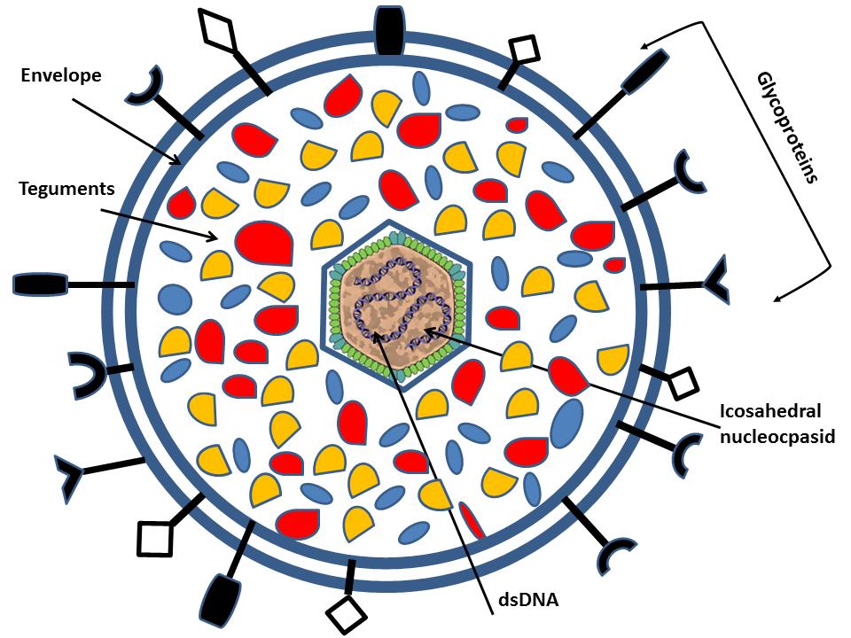struktur virus herpes